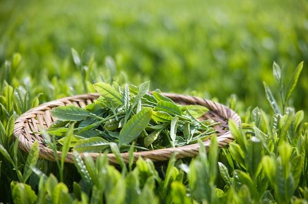 Trà xanh và bí quyết làm đẹp toàn diện bạn không nên bỏ qua 1