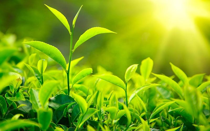 Trà xanh và bí quyết làm đẹp toàn diện bạn không nên bỏ qua 4