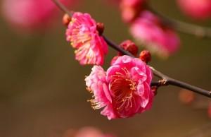 Làm thế nào để hoa đào được tươi lâu hơn trong ngày tết 0