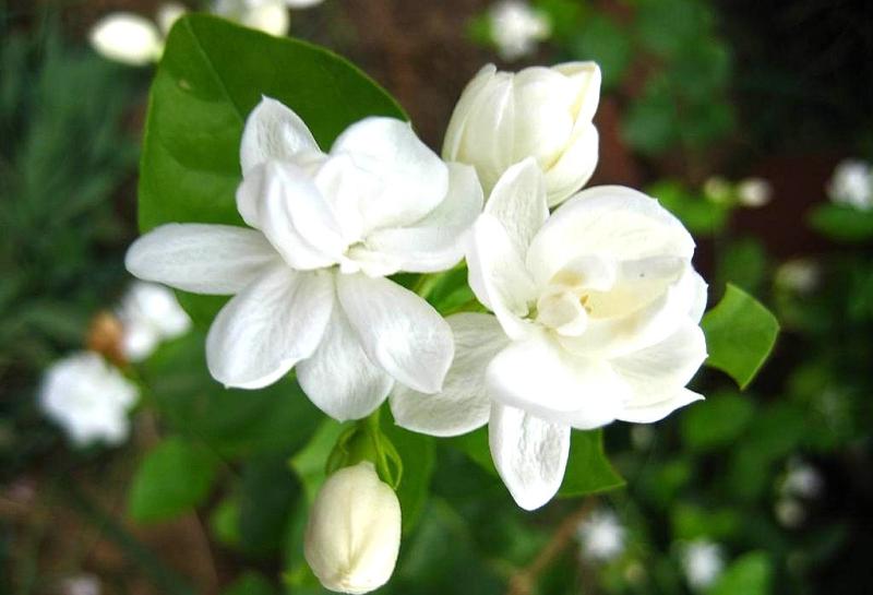 Hoa nhài giúp bạn ăn gian tuổi.